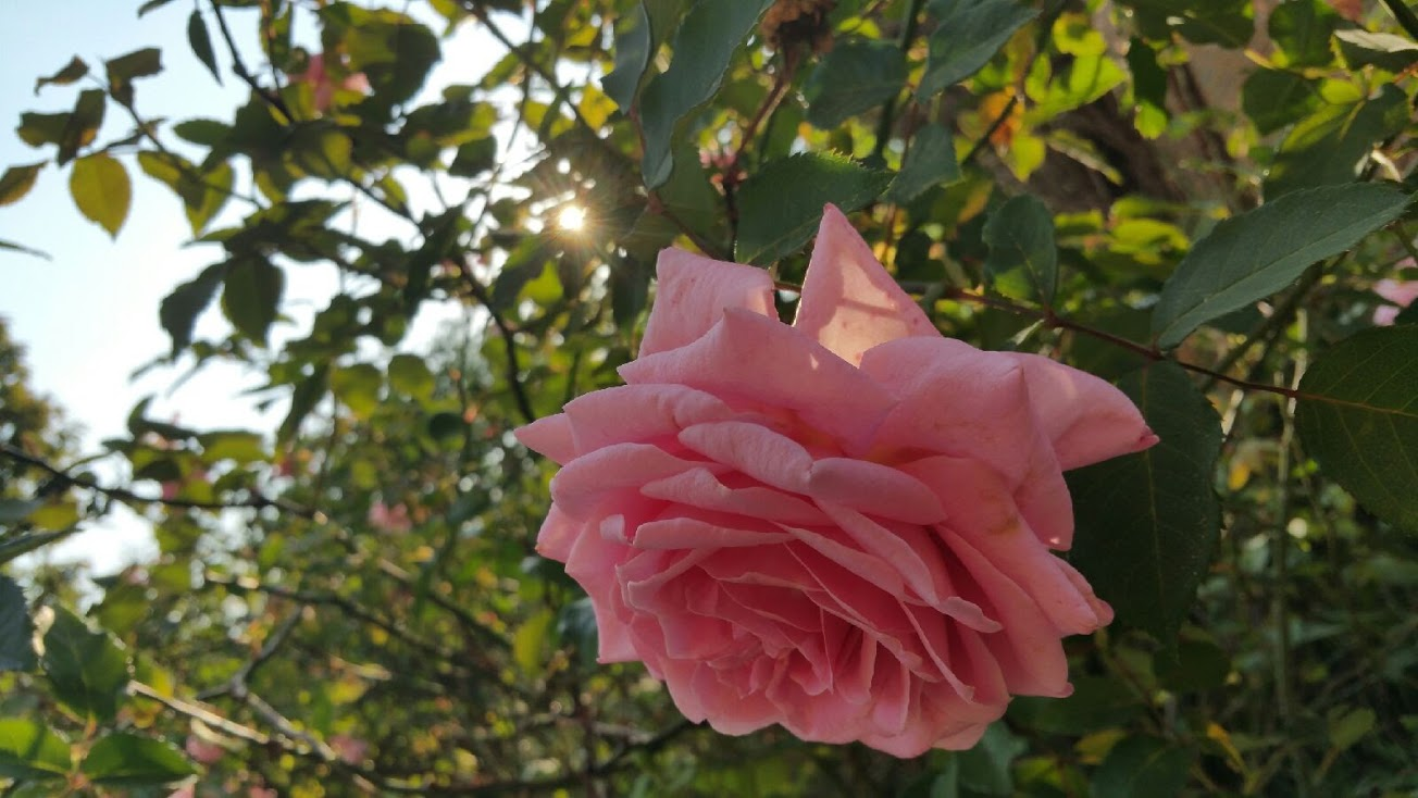 Close up view of pink rose for Easter holiday tradition